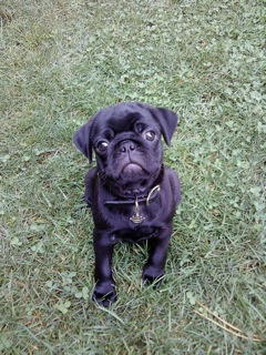 My Journey - A Pug's Story to Healthy Weight Loss