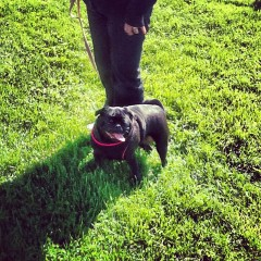 Emotional Pug Humom – Update
