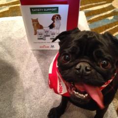 A Pug at the OVMA 2015
