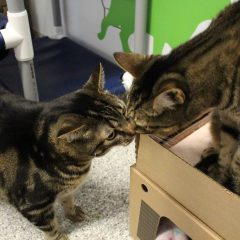 Adoptable Cat(s) of the Week – Stitch & Francois