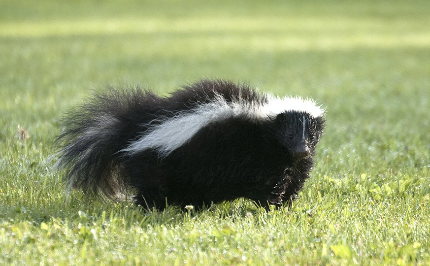 Skunks and Dogs - Every Dog Parents Nightmare