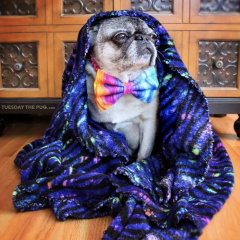 Interviews from Edie's Pug House – Tuesday the Pug
