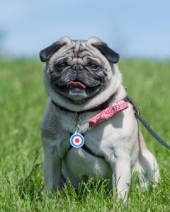 Interviews from Edie's Pug House - Fishstick the Pug