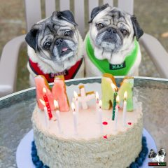 Interviews from Edie's Pug House – Minnie and Max