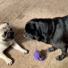 A Pug's (and cat's) Social Distancing Diary