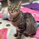 Adoptable Cat of the Week – Bella