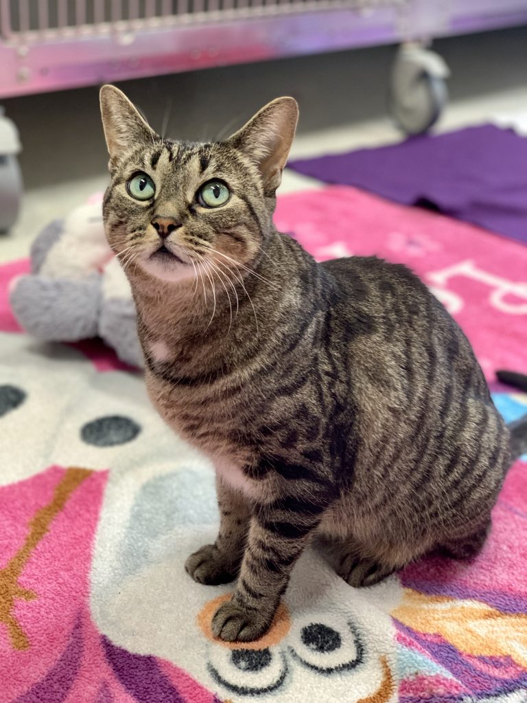Adoptable Cat of the Week - Bella